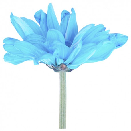 Marguerite bleue